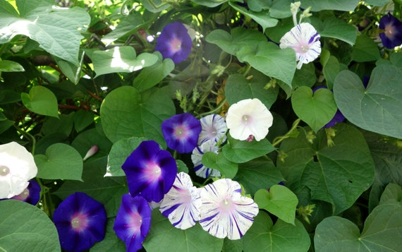 Morning glory flower seeds purple white mix striped shibori etsy morning glory flower seeds purple white mix striped shibori purple flowering vine annual climing vine 25 seeds violet morning glory seeds mightylinksfo