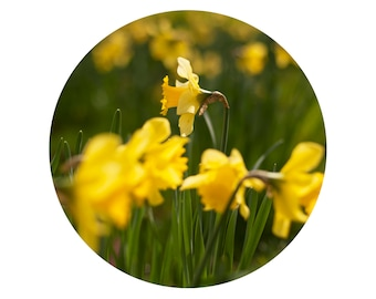 in Time of Daffodils (8x8 fine art photographic print)