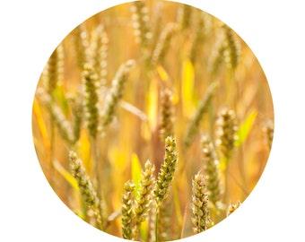 Golden Wheat  (8x8 fine art photograph giclee print)