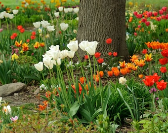 Among the Tulips - Tulip Time Holland, MI - Michigan Photography - Stock Photography