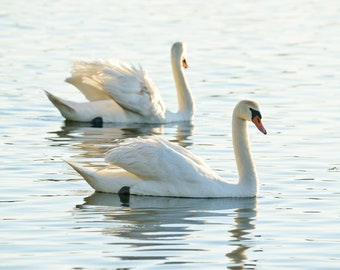 Smooth Swans - Pere Marquette Lake -  Ludington - Michigan Photography