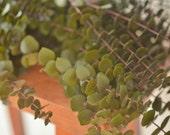 Bunch of Premium Olive Green Spiral Eucalyptus, very fragrant!, green eucalyptus, olive green eucalyptus, preserved eucalyptus