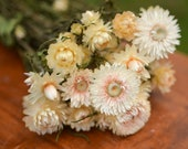 Bunch of ivory strawflowers, ivory strawflowers, ivory flowers, ivory dried flowers, white dried flowers, ivory wedding, champagne flowers
