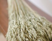 Dried oats, dried aveeno, oat bunch, oat head, green grains, green oats,dried grains, wedding decor, do-it-yourself wedding, oats