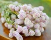 Dried blush pink gomphrena, light pink globe amaranth, light pink globe amaranth, blush pink gomphrena