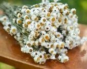 Dried ammobium bunch, mini daisies, everlasting dried flowers, mini daisy, white daisies