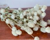 Dried ivory gomphrena, ivory globe amaranth, white globe amaranth, white gomphrena, dried flowers