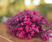 Bunch of preserved raspberry pink phylica,  preserved dark pink flowers, small pink dried flowers, pink wedding flowers, fuschia flowers