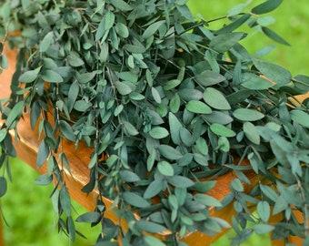 Preserved Green Teardrop Eucalyptus, eucalyptus for bouquets, preserved parvafolia, eucalyptus for vase, greenery for bouquets