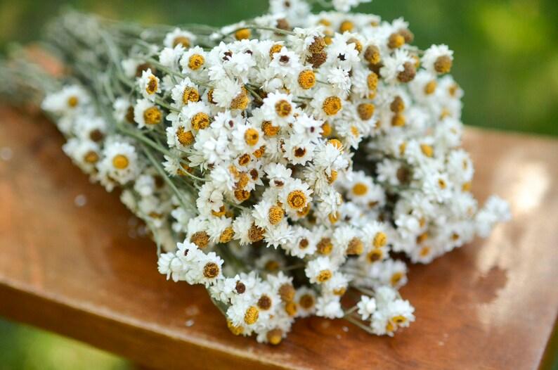 Dried ammobium bunch mini daisies everlasting dried flowers image 0