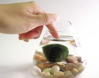 Marimo Water Terrarium Pet -- DISCOUNTED