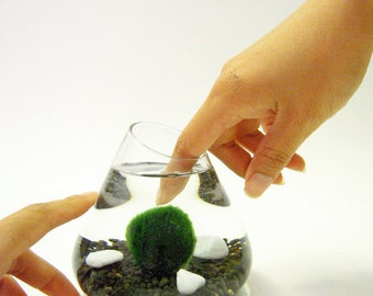 Marimo Pet in the Black Sea -- DISCOUNTED