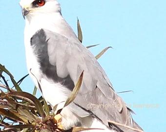 White Tailed Kite HAWK - Fine Art Print - 8 x12 - Artist Chris Scheel - Wetlands Birds of Prey Raptors