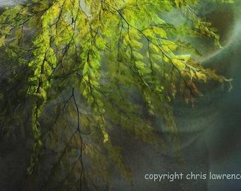 Síochána no 2 - Fine Art Print - 8 x12 - Artist Chris Scheel - Peaceful Ethereal Water Ferns