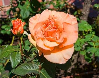 Fine Art Photography-Apricot Rose