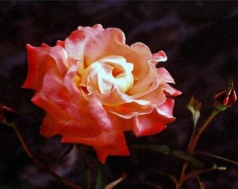 A Full Rose