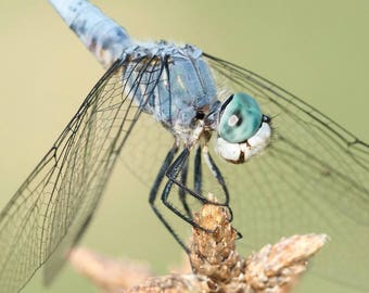 Blue Dasher. Macro portrait of a dragonfly. Lustre archival signed photo print.