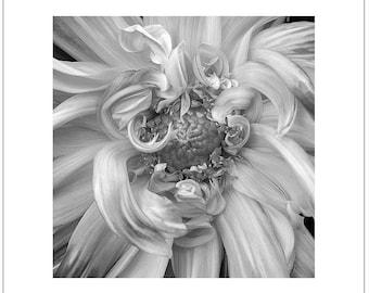 Photo - DAHLIA, BLACK & WHITE - Flower Mandala Inspirations - Signed Fine Art Photograph