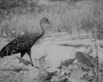 Lake Okeechobee Florida, Limpkin Photograph, Water Fowl Photography, Bird Print, Nature Photo, 8x10 Photo Print, Unframed, Housewarming Gift