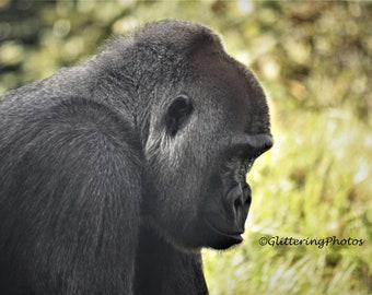 Gorilla Photograph, Africa Wildlife Photo, Lowland Gorilla, Louisville Zoo, Louisville KY, 8 x 10 Photo Print, Unframed, Free Shipping