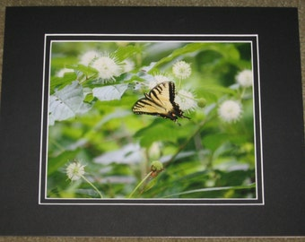 Matted, Eastern, Tiger, Swallowtail, Butterfly, Henryville, Clark County, IN, Fine Art, Photography, Print, Glossy, 8 x 10