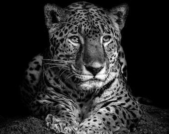e9d5c872139 Jaguar - Black and White Animal Portrait