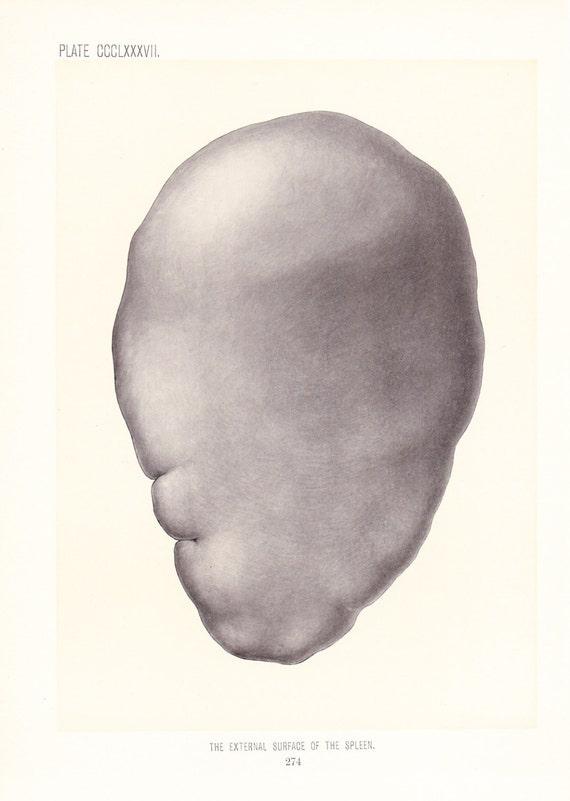Anatomy 1899 Human Anatomy Print External Surface Of Spleen Etsy