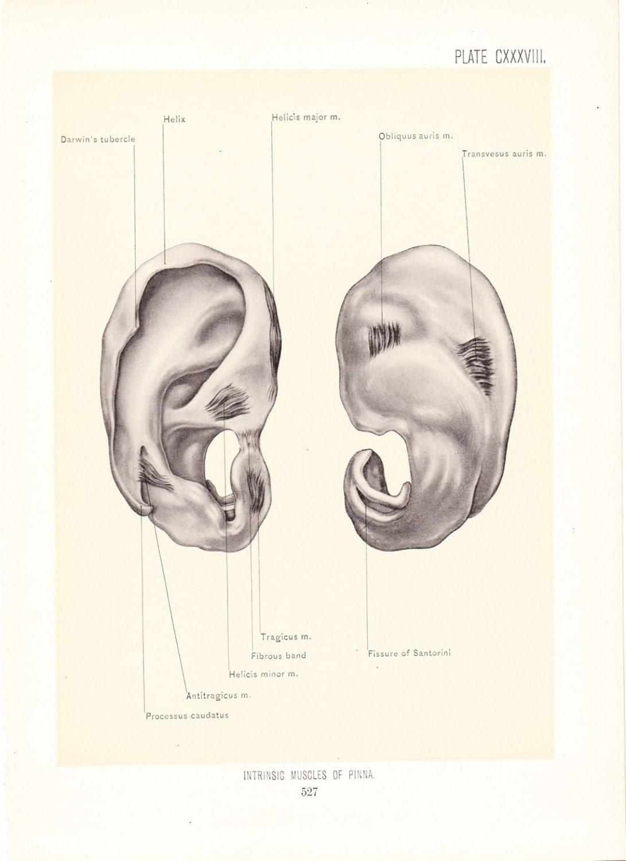 Anatomy 1899 Human Anatomy Print Muscles of Pinna Ear | Etsy