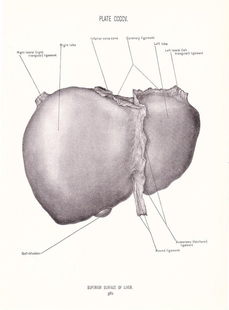 Anatomy 1926 Human Anatomy Print Superior Surface Of Liver Etsy