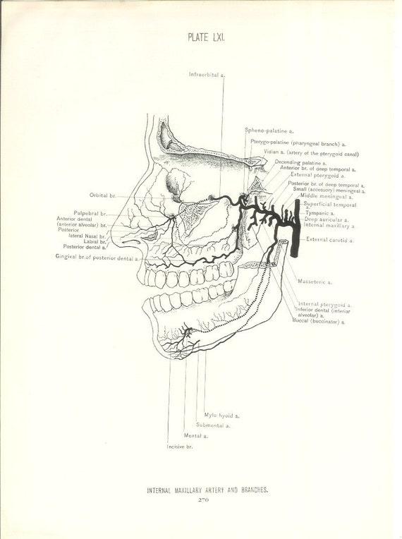 1926 Human Anatomy Print Maxillary Artery And Branches Etsy