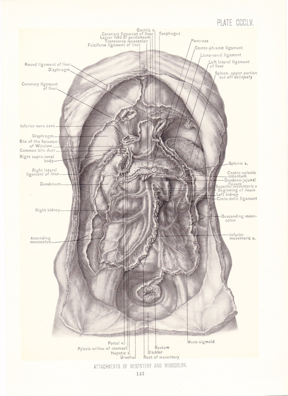 1899 Human Anatomy Print Mesentery and Mesocolon Vintage | Etsy