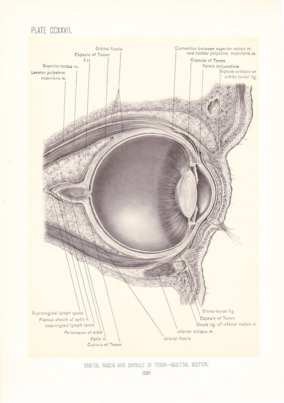 Anatomy 1899 Human Anatomy Print Orbital Fascia Vintage Etsy