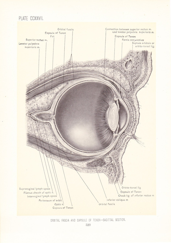 1899 Human Anatomy Print Orbital Fascia Vintage Antique | Etsy