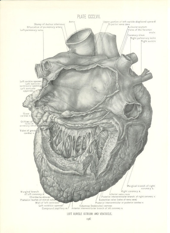 Anatomy 1926 Human Anatomy Print Left Side Of Heart Etsy