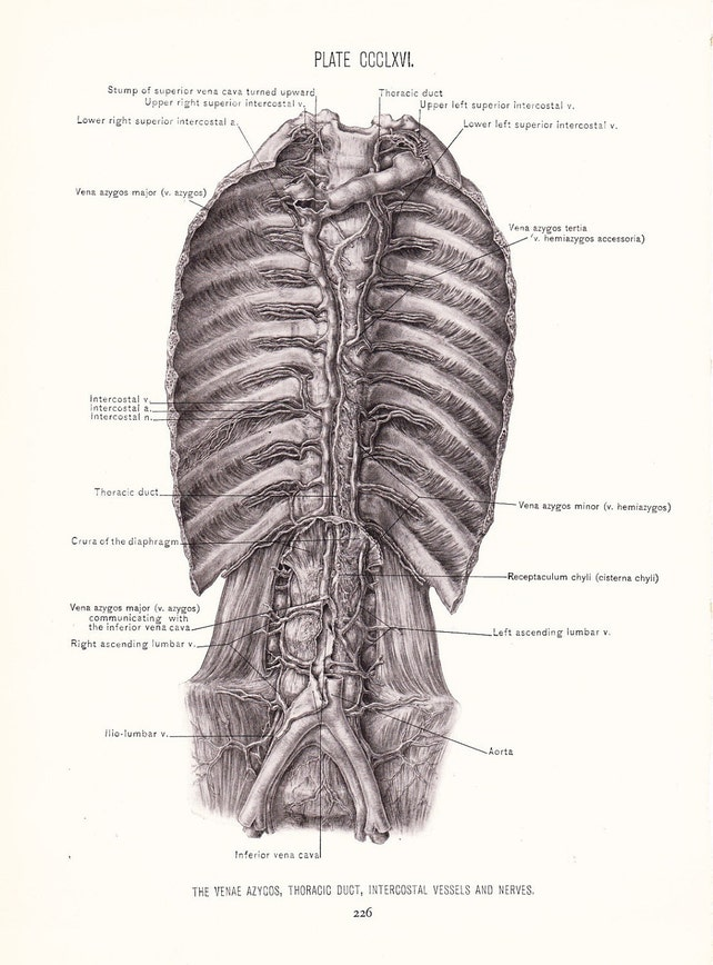 1926 Human Anatomy Print Abdominal Region Vintage Antique   Etsy