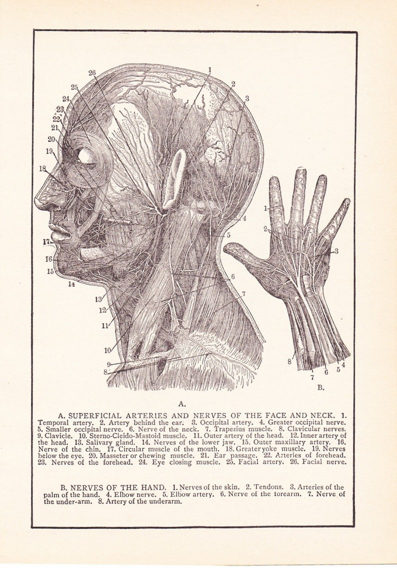 Anatomy 1905 Human Anatomy Print Nerves Of Face And Hand Etsy