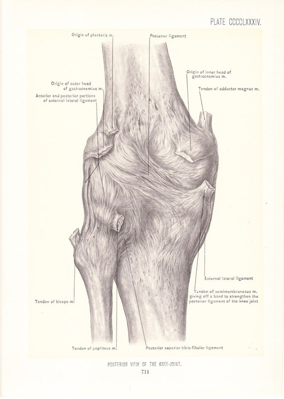 1899 Human Anatomy Print Posterior View Of Knee Joint Etsy