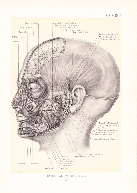 1899 Human Anatomy Print Temporal Fascia Nerves Of Face Etsy