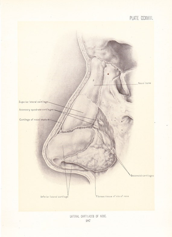 Anatomy 1899 Human Anatomy Print Cartilage Of Nose Vintage Etsy