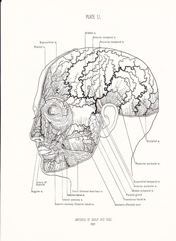 1926 Human Anatomy Print Arteries Of Face And Scalp Etsy