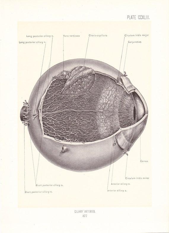 Anatomy 1899 Human Anatomy Print Ciliary Arteries Of Eye Etsy