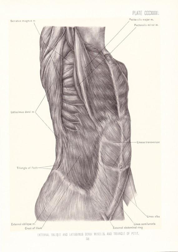 Anatomy 1899 Human Anatomy Print Ab Muscles Vintage Etsy