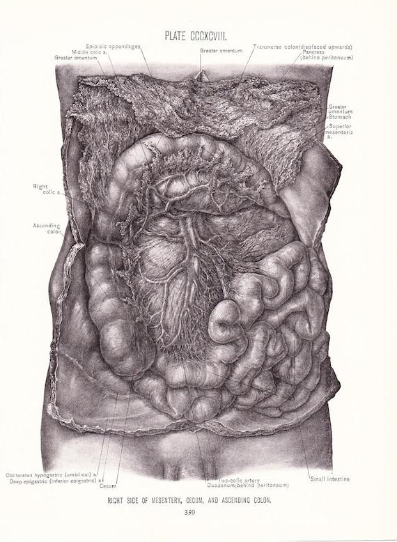 1926 Human Anatomy Print Mesentery Cecum And Ascending