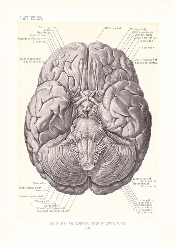 Anatomy 1899 Human Anatomy Print Base Of Brain Vintage Etsy