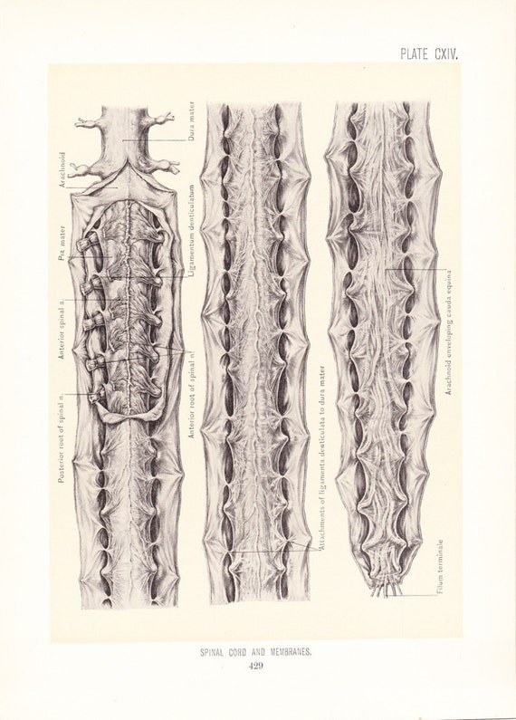 Anatomy 1899 Human Anatomy Print Spinal Cord Vintage Etsy