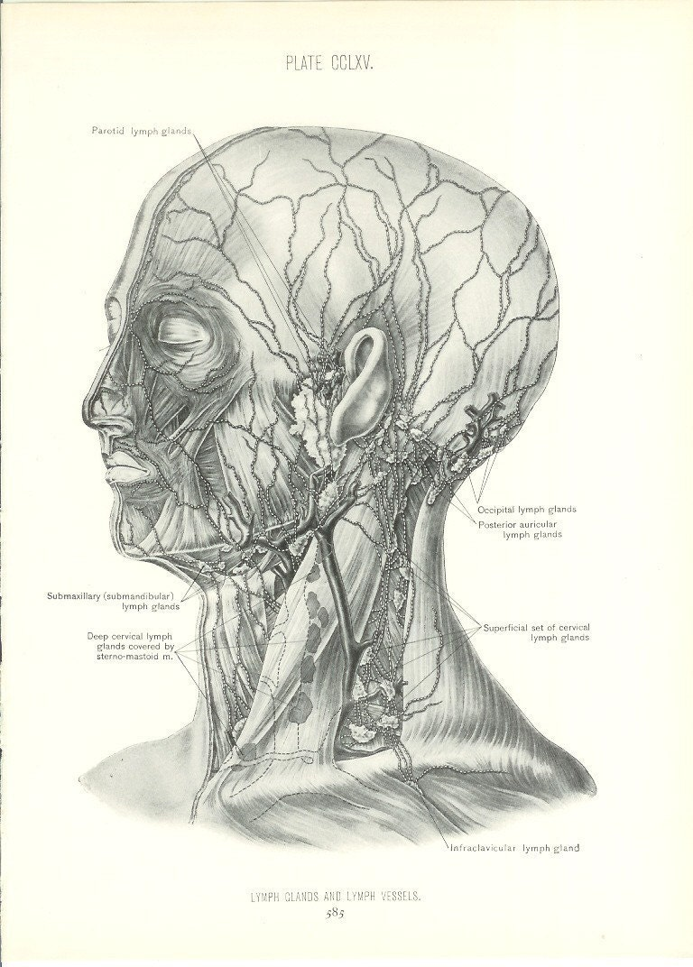 Anatomy 1926 Human Anatomy Print Lymph Glands And Vessels Etsy