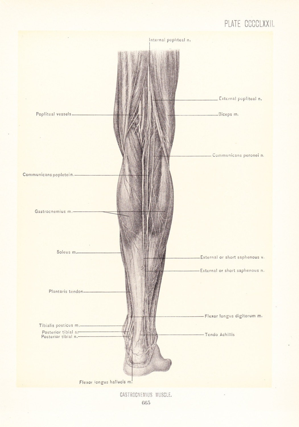 Anatomy 1899 Human Anatomy Print Gastrocnemius Muscle Of Leg Etsy