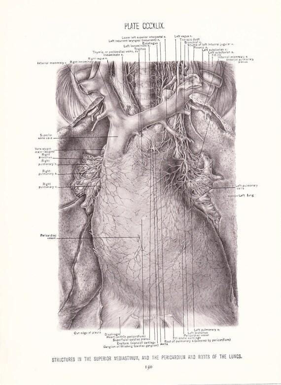 1926 Human Anatomy Print Pericardium Vintage Antique   Etsy