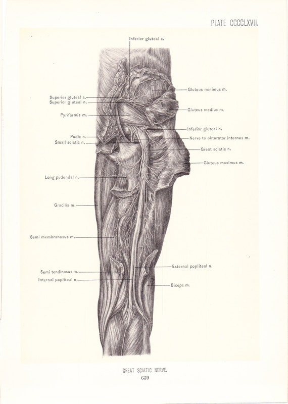 Anatomy 1899 Human Anatomy Print Great Sciatic Nerve Of Leg Etsy