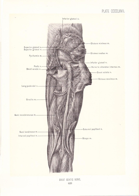 Anatomy 1899 Human Anatomy Print Great Sciatic Nerve Of Leg Etsy